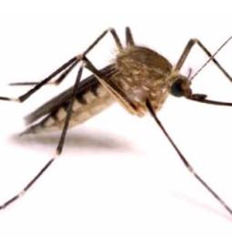 Smitta från myggor